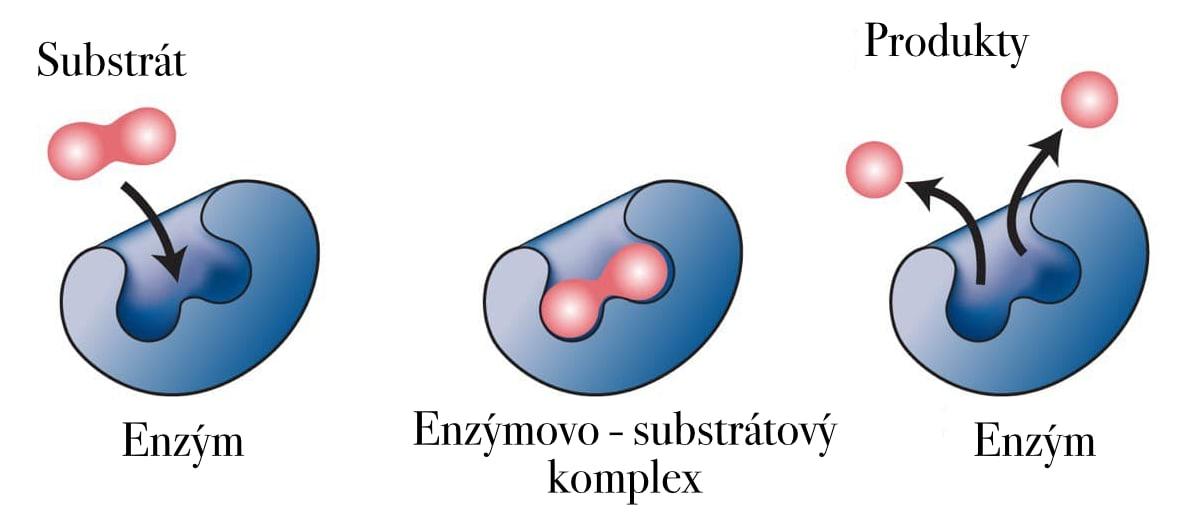 Mechanizmus pôsobenia enzýmov